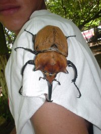Large Costa Rican bug