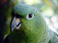 Close up of Costa Rica parrot